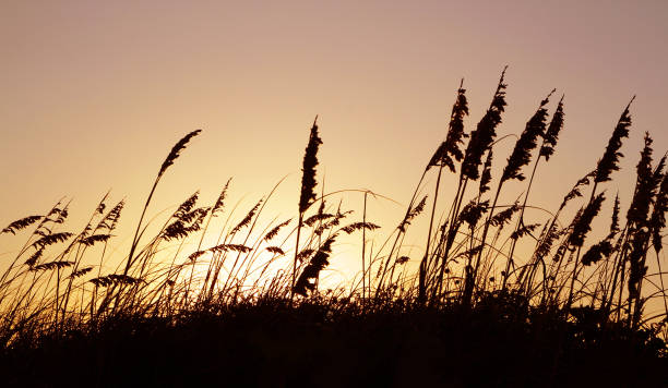 marram grass silhouette in the sunset at the beach in padre island national seashore dunes - schilfgras stock-fotos und bilder