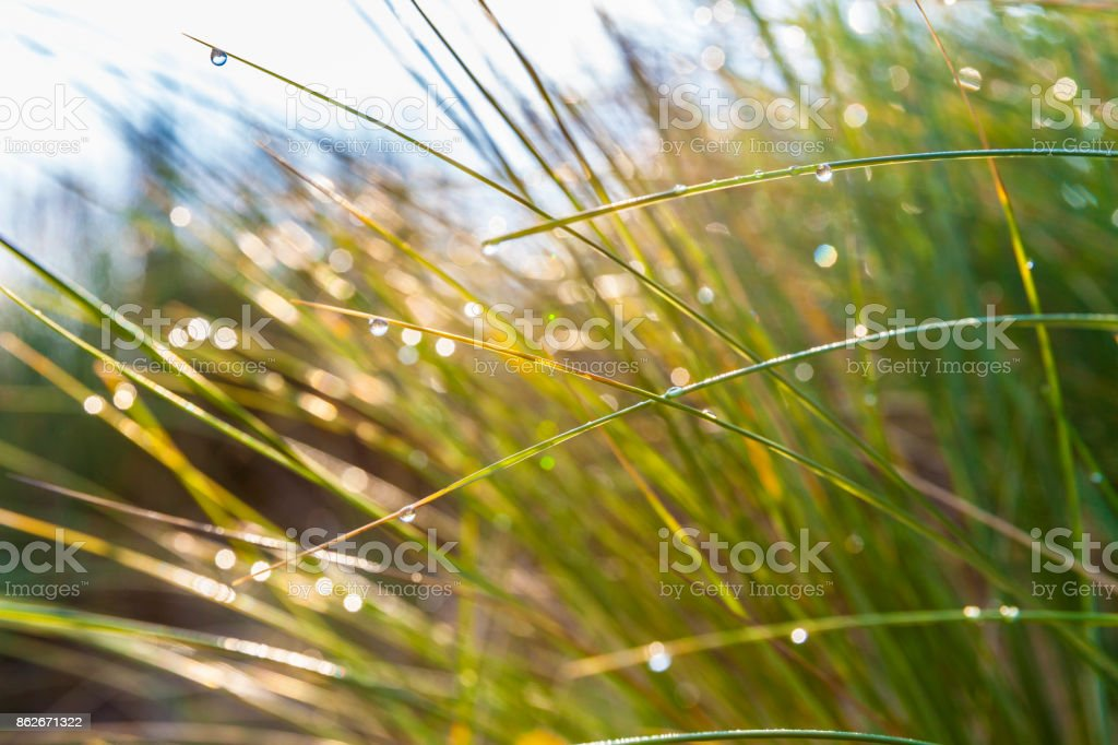 Marram grass with morning dew at the north sea stock photo