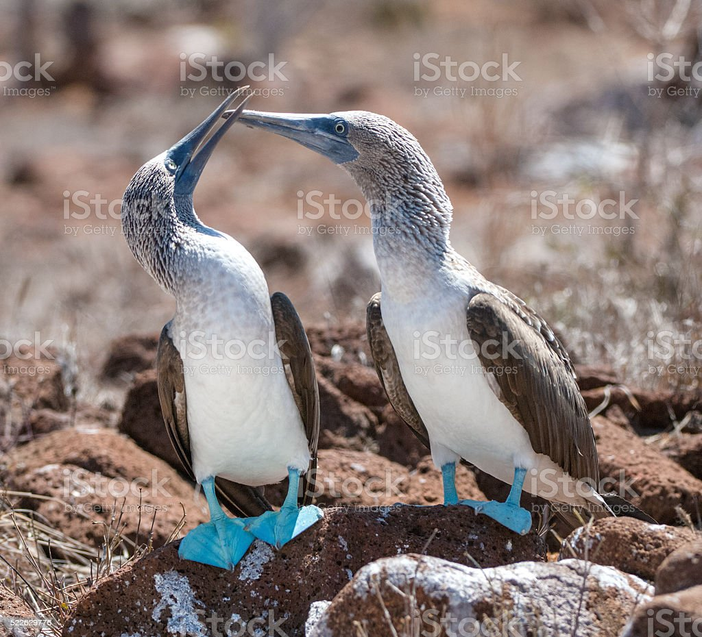 Marriage dances of Blue-footed Boobyis stock photo