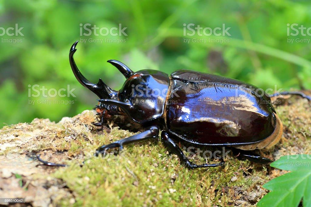 Mars elephant beetle photo libre de droits