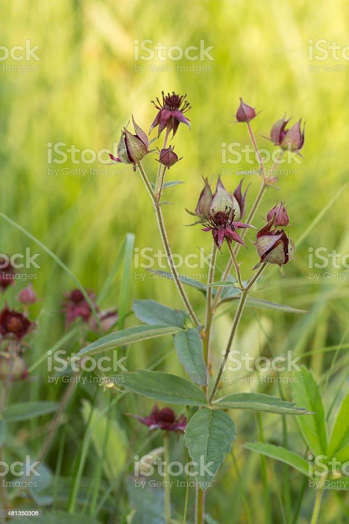 Marsh Cinquefoil, Potentilla palustris blooming in moist environment stock photo