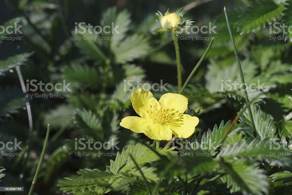 Marsh flora silverweed Argentina anserina with reed grasses stock photo