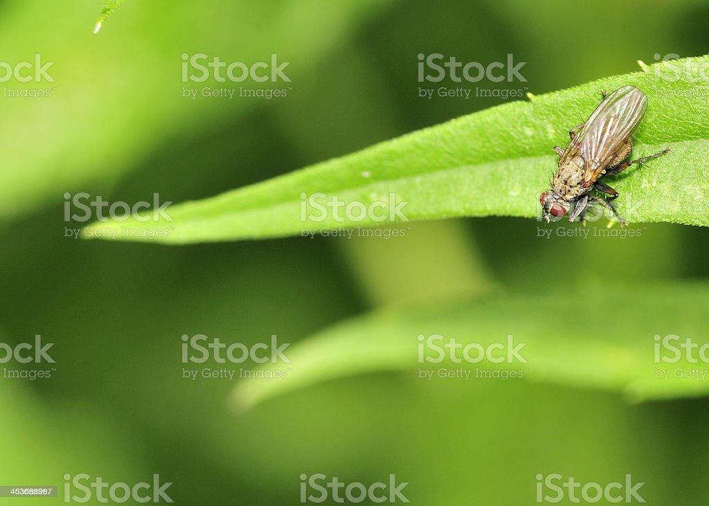 Marsh Fly (Tetanocera) royalty-free stock photo