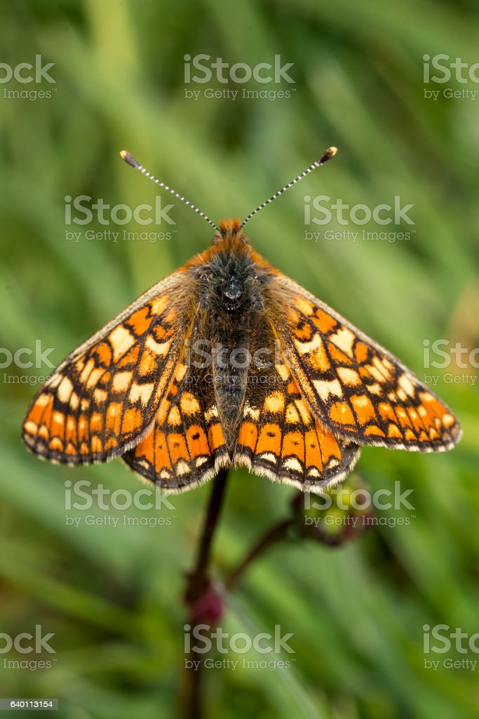 Marsh Fritillary butterfly, Euphydryas aurinia stock photo