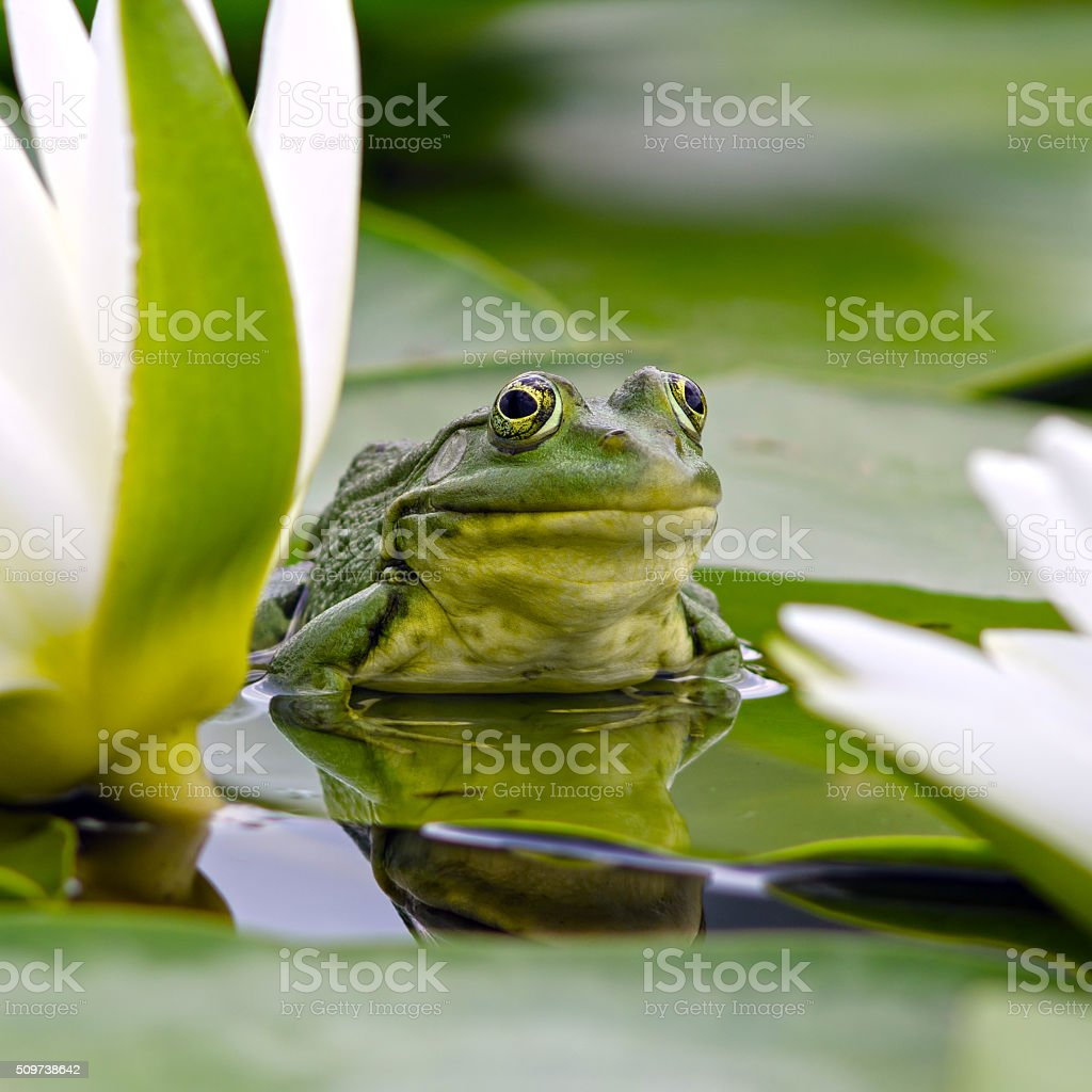 Marsh frog among white lilies stock photo