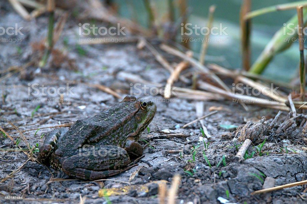 Marsh frog stock photo