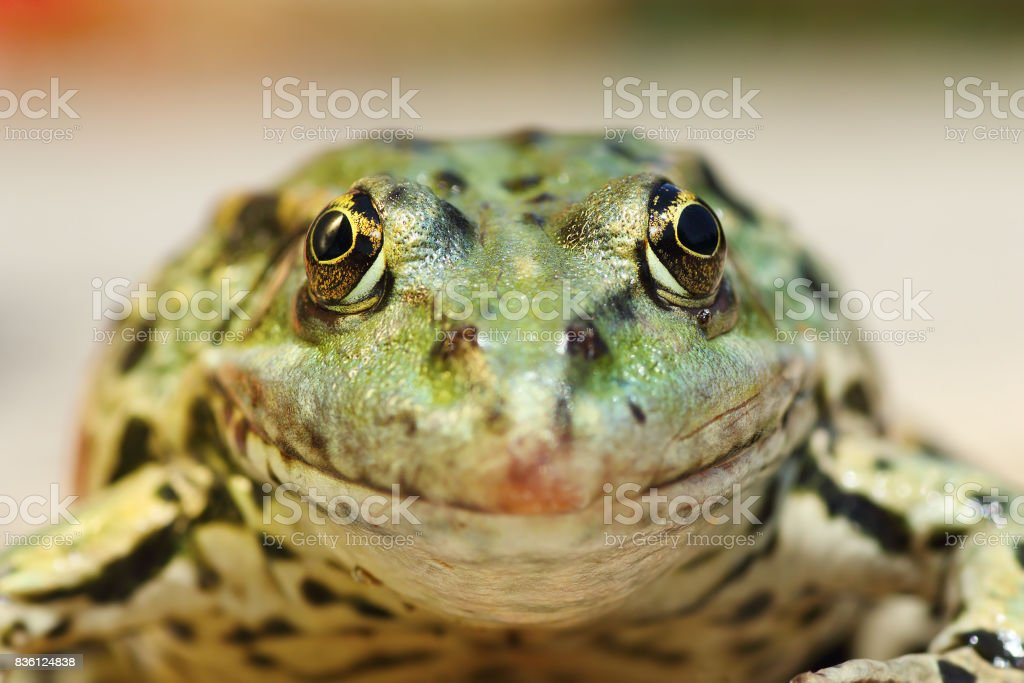 marsh frog portrait looking at the camera stock photo