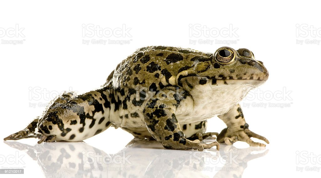 Marsh Frog - Rana ridibunda royalty-free stock photo