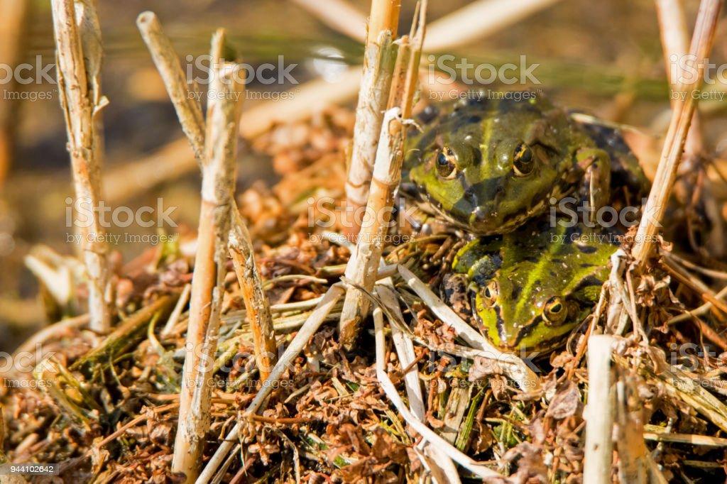 Marsh frogs stock photo