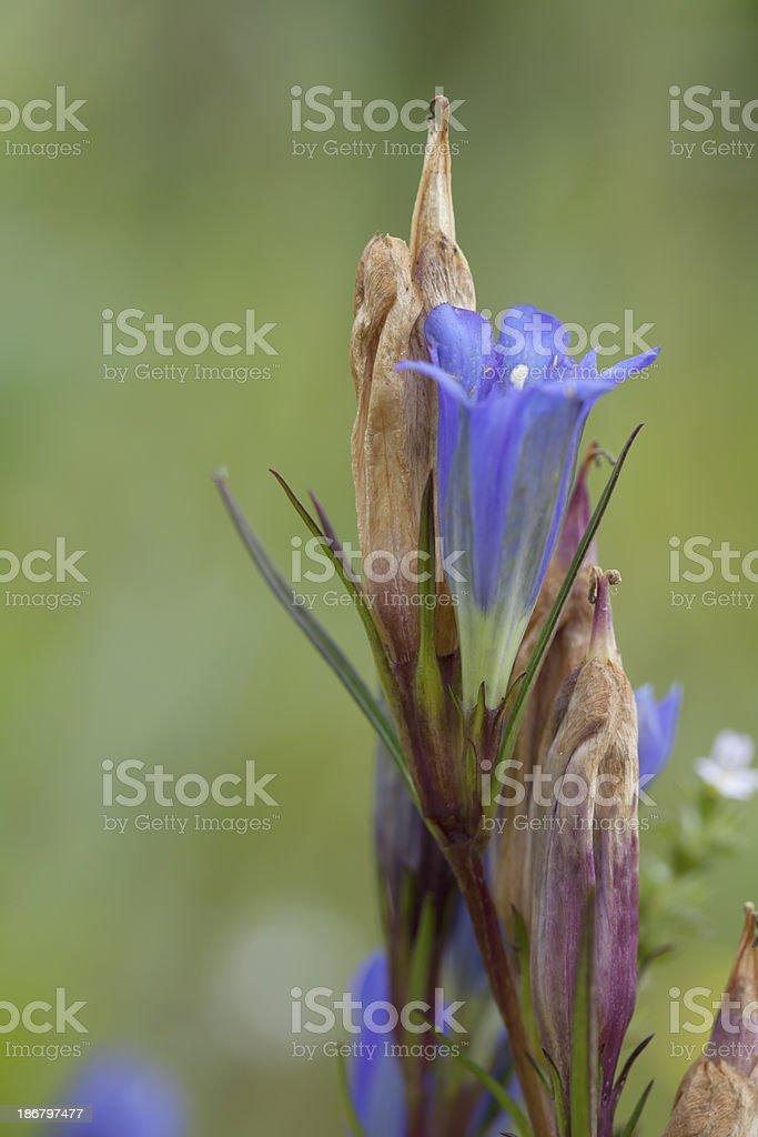 Marsh Gentian (Gentiana pneumonanthe) royalty-free stock photo