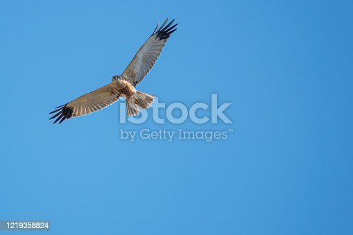 a marsh harrier flies in the blue sky and looks for prey