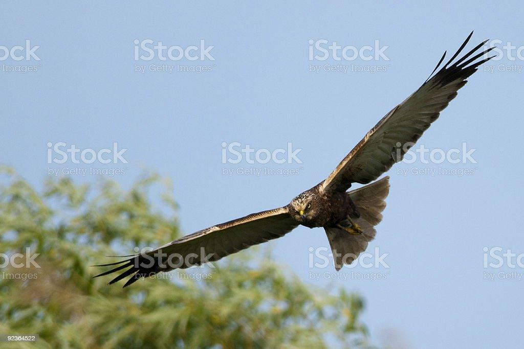 Marsh Harrier in flight royalty-free stock photo