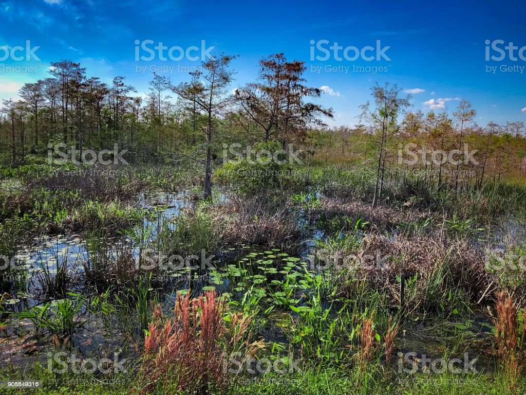 marsh in Florida  with cypress trees and tall grass stock photo