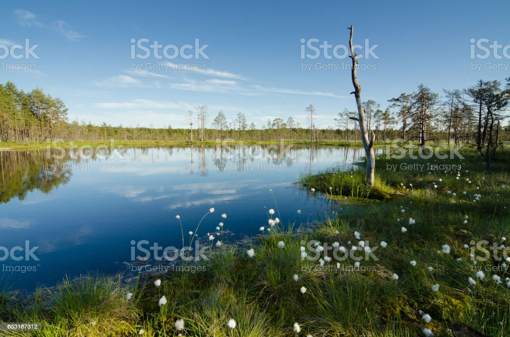 marsh landscape with beautiful white tufts and blue sky stock photo