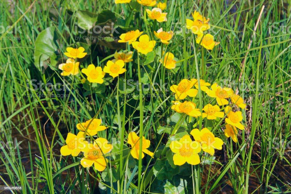 Marsh Marigold flowers. Caltha palustris growing in swamp. Spring flowers stock photo