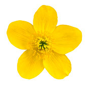 Marsh Marigold Yellow Flower Isolated on White Background. Caltha Palustris Macro DetailPlease see similar images in my lightboxes: