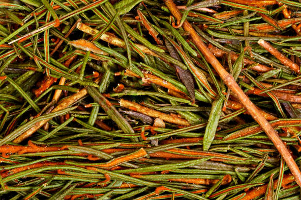 Marsh Northern Labrador Tea Ledum palustre stock photo