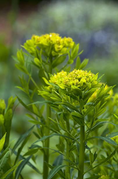 marsh spurge (Euphorbia palustris) stock photo