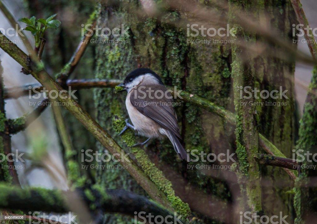Marsh Tit finding nest material stock photo