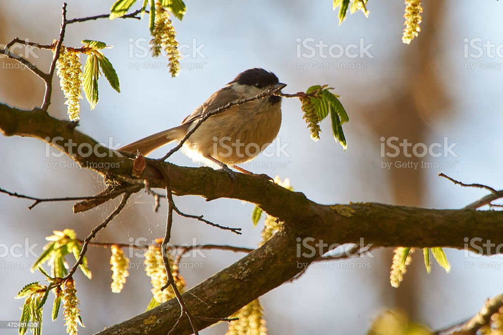 Marsh tit on a branch in a wonderful forest stock photo