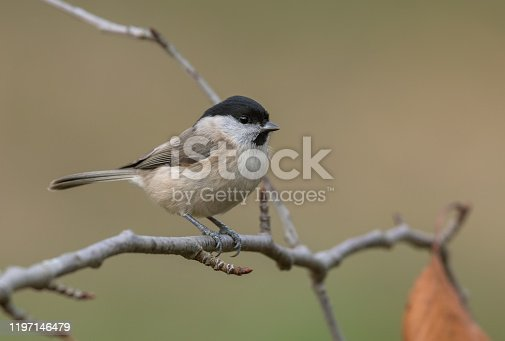 Marsh tit perching on a cherry tree.