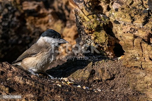 Marsh tit ( Poecile palustris) with seed in beak
