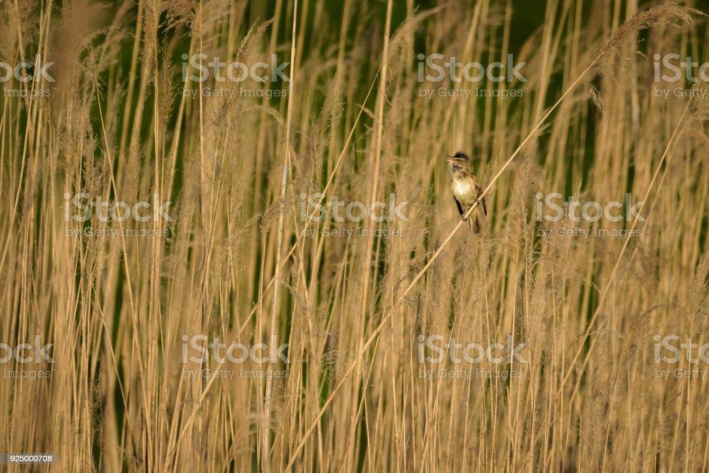 Marsh warbler singing in reed stock photo