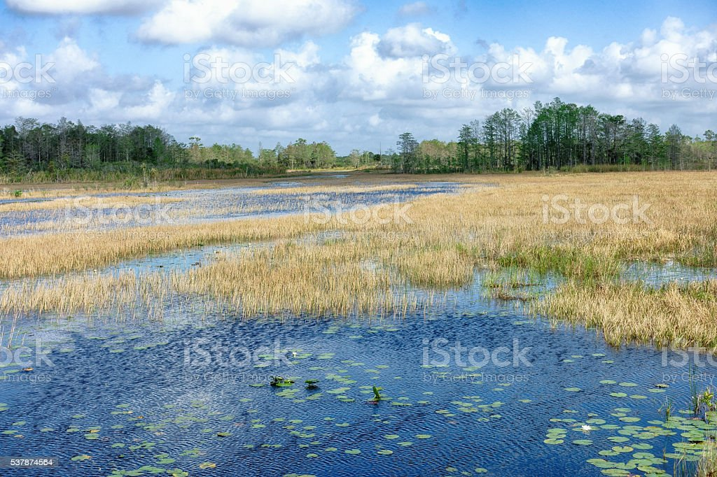 Marsh watershed with reeds and lilypads stock photo