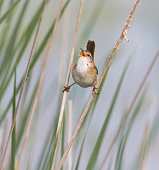Cute little bird singing beak wide open while clinging to grass stems