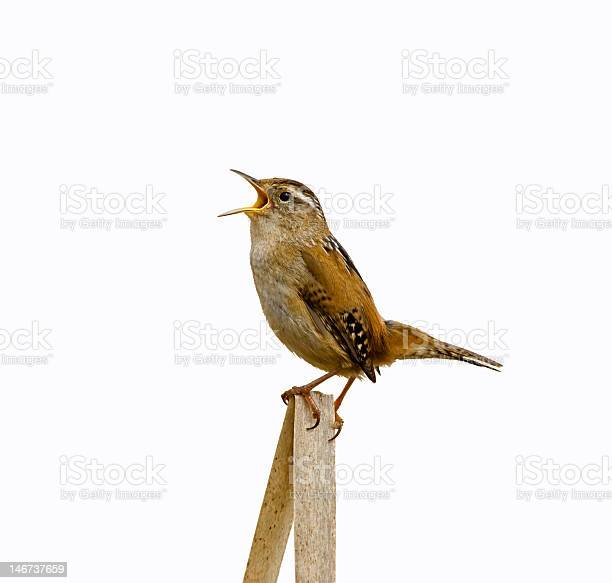 Photo of Marsh Wren Singing Isolated from Background