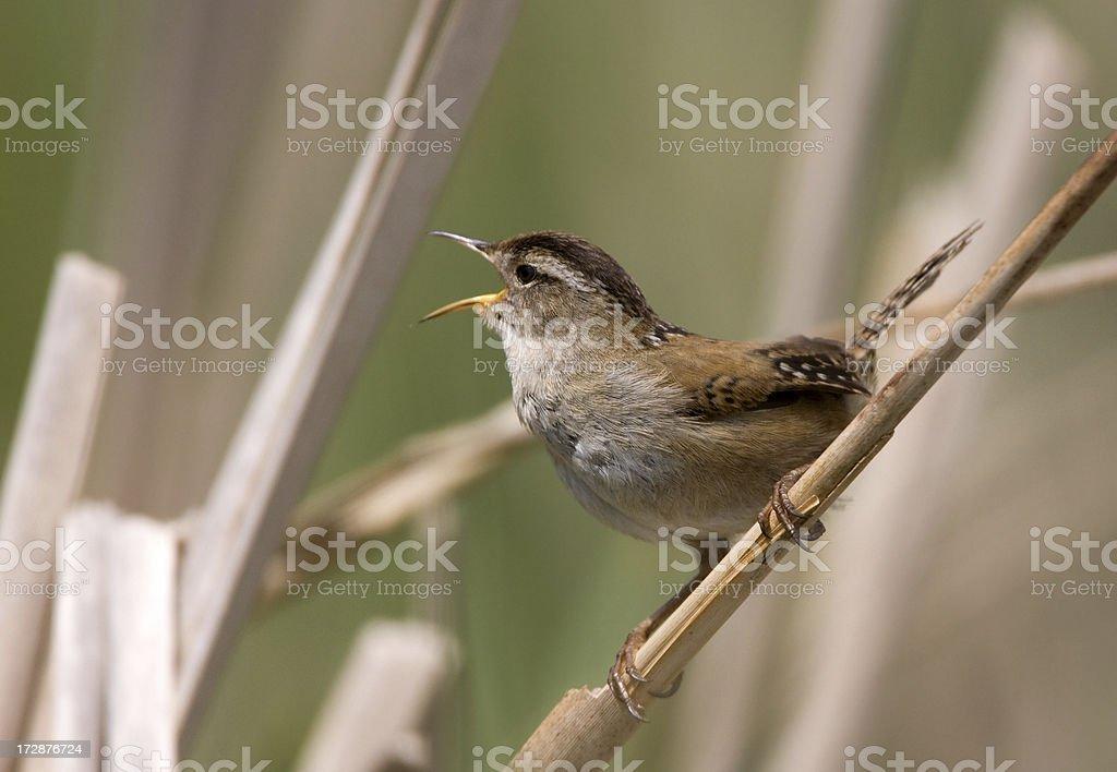 Marsh Wren Singing on Cattails stock photo