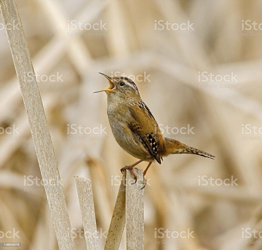 Marsh Wren Singing royalty-free stock photo