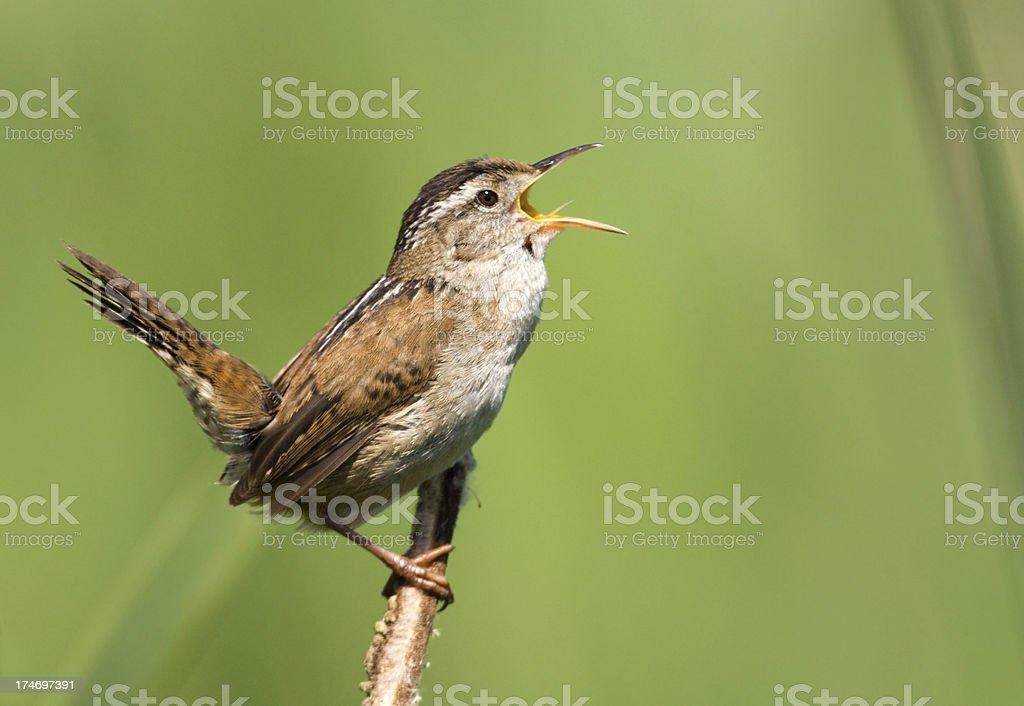 Marsh Wren Singing stock photo
