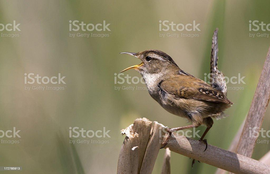 Marsh Wren singing the Spring Songs royalty-free stock photo
