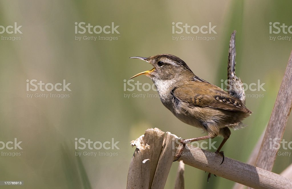Marsh Wren singing the Spring Songs stock photo