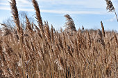Marshes and sedges in the wind, close-up