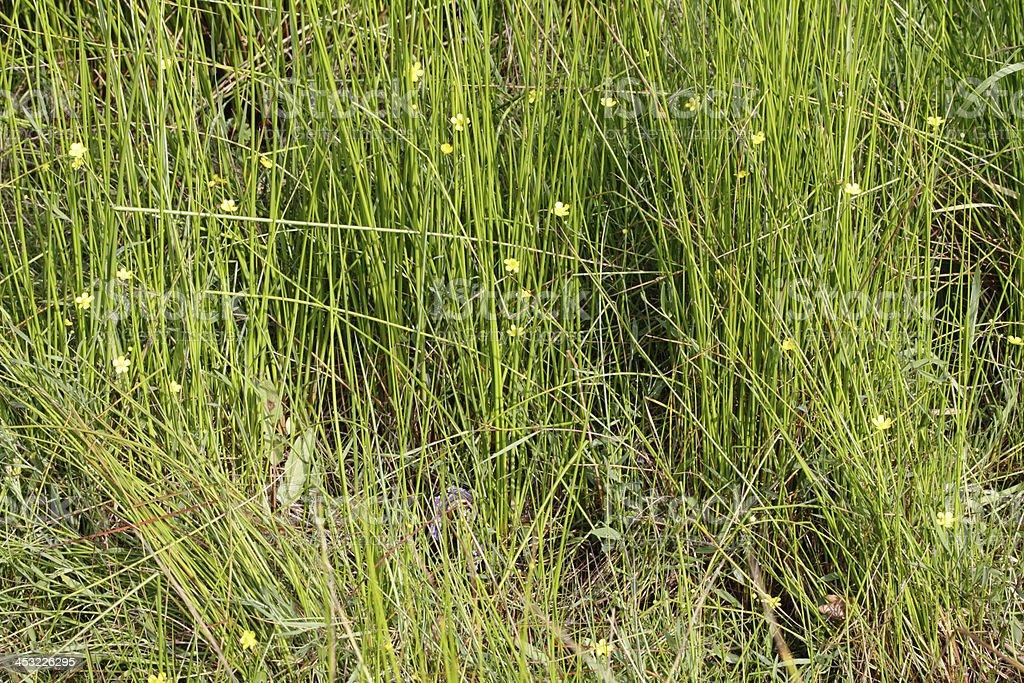 Marshland lesser spearwort Ranunculus flammula amongst reeds royalty-free stock photo