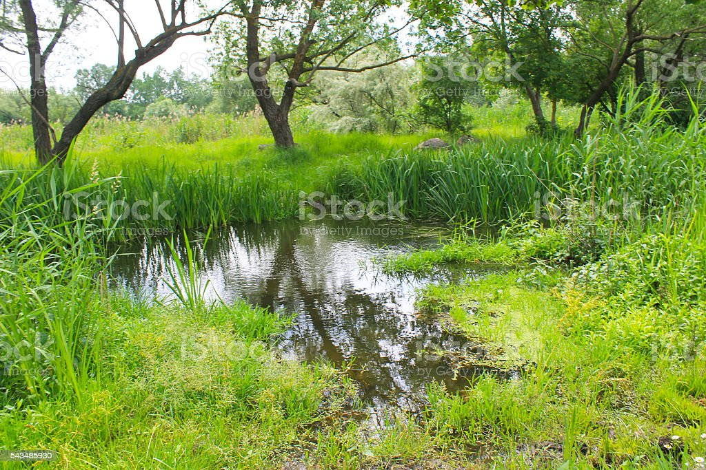 Marshland with green reeds in water stock photo