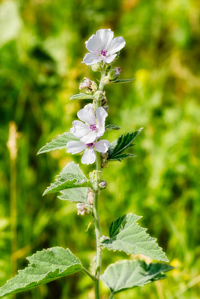 Marshmallow Flower (Althaea) stock photo
