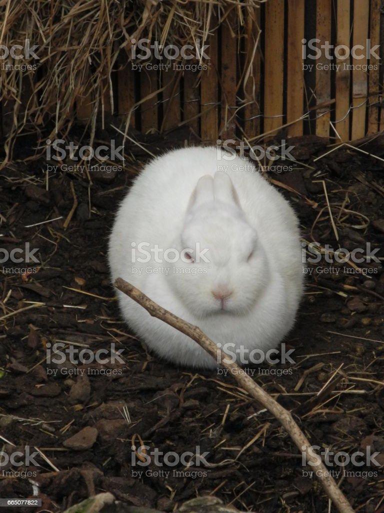 'marshmallow' rabbit stock photo