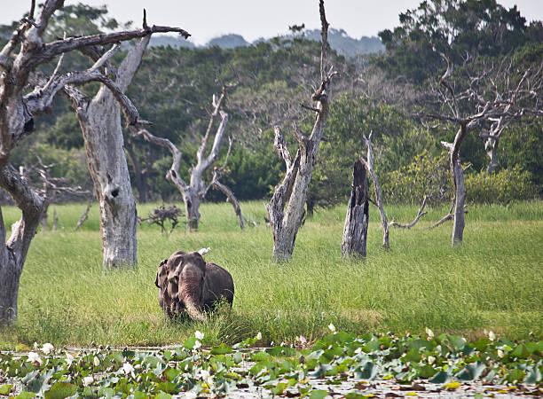 """Marshy area; Yala National Park, Sri Lanka """"A marshy area of Yala National Park, south-east Sri Lanka, with water lilies in the foreground and  drowned, dead trees in a wet grassy area in the middle. An old Asian Elephant"""" yala stock pictures, royalty-free photos & images"""