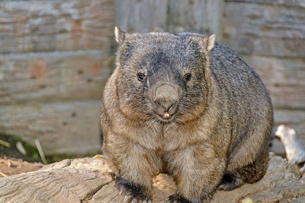 marsupial - wombat stock photos and pictures