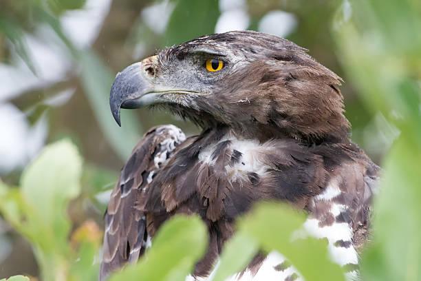 Martial eagle, Kruger National Park, South Africa stock photo