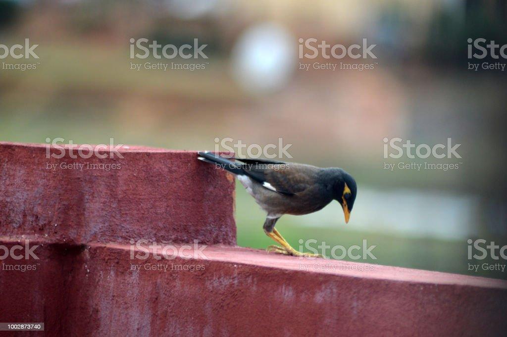 Martin triste cherche de la nourriture sur le balcon d'une maison stock photo