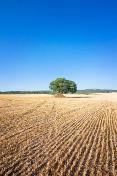 Martina Franca, Apulien - ein Alter Baum noch auf ein Feld nach der Ernte – Foto