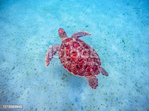 Martinique beach and turtle snorkeling in the caribbean island