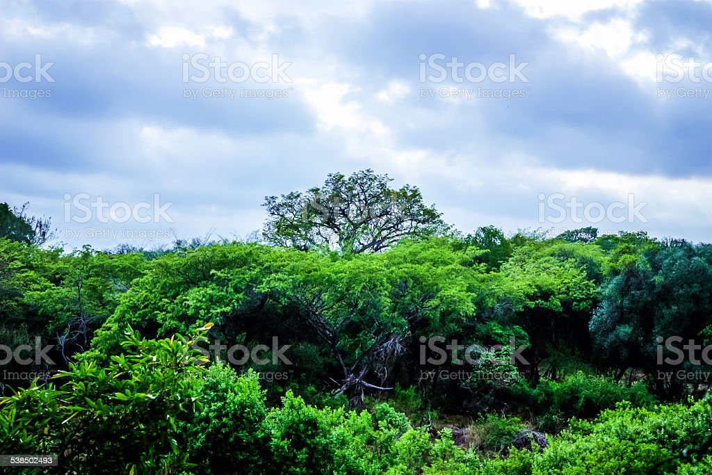 Marula Tree in African Sky stock photo