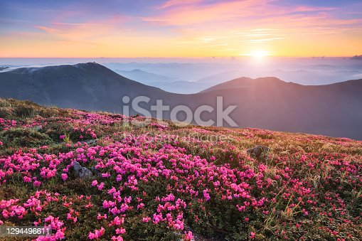 Marvelous summer day. The lawns are covered by pink rhododendron flowers. Beautiful photo of mountain landscape. Concept of nature rebirth. Location place Carpathian, Ukraine, Europe.