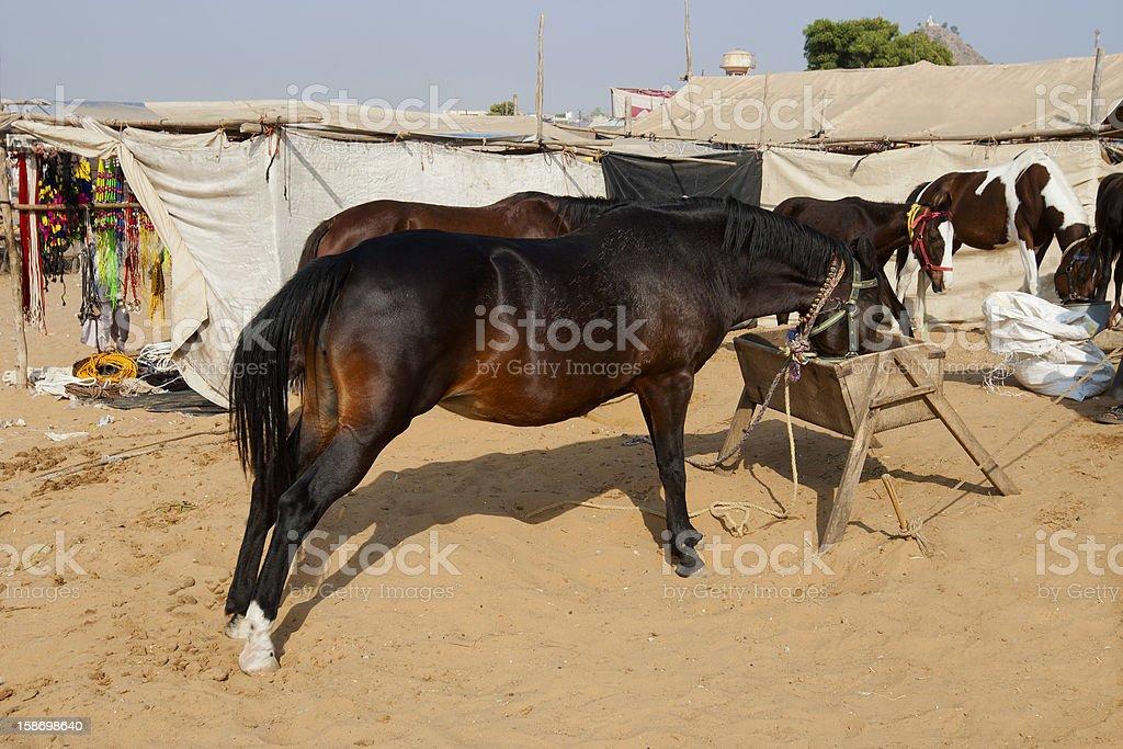 Marwari Horse royalty-free stock photo