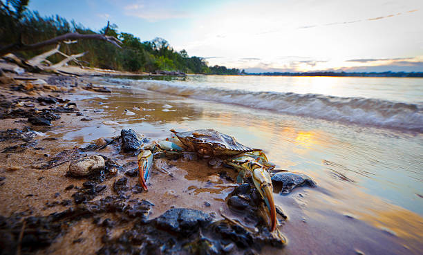 maryland blue crab at sunset on the chesapeake bay - blauwe zwemkrab stockfoto's en -beelden